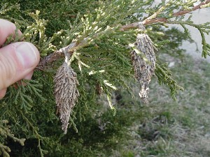 In recent years bagworms have been able to survive relatively mild Indiana winters and emerge on trees farther north in the state. Homeowners can minimize damage to their trees by surveying for bagworms and treating them.
