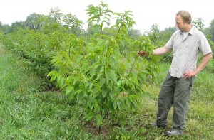 Douglass Jacobs examines a young hybrid of the American chestnut. He expects the trees could be reintroduced in the next decade. (Purdue University file photo/Nicole Jacobs)