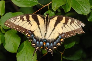 The Eastern Tiger Swallowtail (Pterourus glaucus) is one of more than two dozen types of butterflies commonly found in Tippecanoe County.