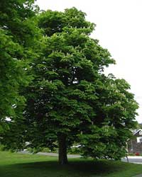 Example of a common Horse Chestnut Tree. The tree removed from campus today will be replaced later this year, according to university officials.