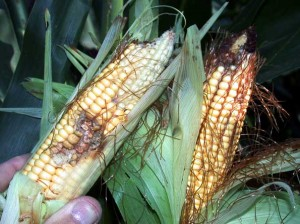 Western bean cutworms can cause extensive damage to an ear of corn once inside. Once gone, the ears are also susceptible to mold. (Photo courtesy of John Obermeyer)