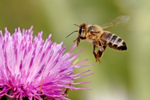 Purdue research is focusing on breeding bees that are more resistant to Varroa mites.